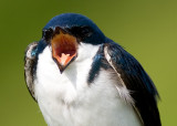tree swallow 170