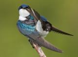 tree swallow 172