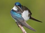 tree swallow 173