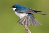 tree swallow 175