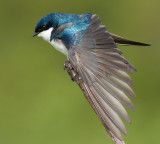 tree swallow 176
