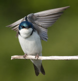 tree swallow 177