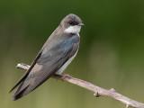 tree swallow 179
