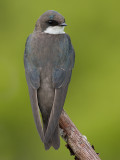 tree swallow 182