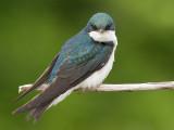 tree swallow 180