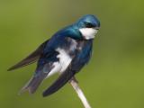 tree swallow 185