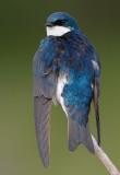 tree swallow 186