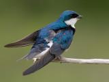 tree swallow 188