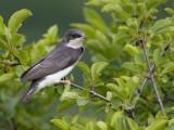 Tree Swallow - juvenile