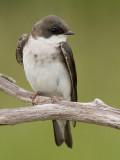 tree swallow 190