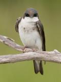 tree swallow 191