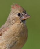 cardinal 294