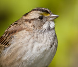 white-throated sparrow 127