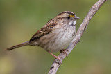 white-throated sparrow 128