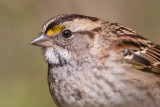 white-throated sparrow 129