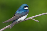 tree swallow 239