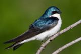 tree swallow 242