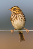 savannah sparrow 18