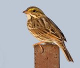 savannah sparrow 20