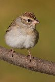 immature chipping sparrow 8