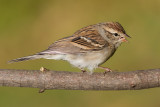 immature chipping sparrow 9