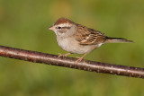 immature chipping sparrow 10