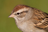 immature chipping sparrow 11