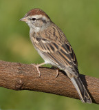 immature chipping sparrow 12