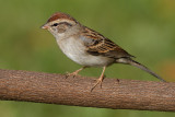 immature chipping sparrow 13