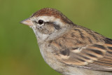 immature chipping sparrow 14