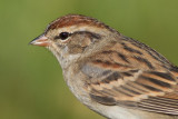 immature chipping sparrow 15