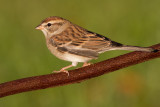immature chipping sparrow 16