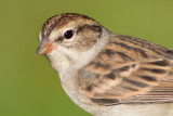 immature chipping sparrow 17