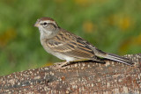 immature chipping sparrow 20