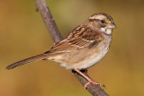 white throated sparrow 136