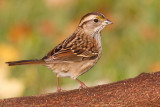 white throated sparrow 137
