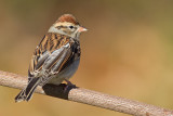 chipping sparrow 18