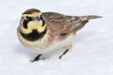 horned lark 51