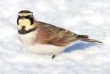 horned lark 55
