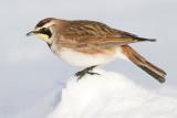 horned lark 58