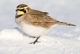 horned lark 59