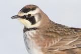 horned lark 61