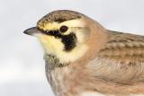 horned lark 64