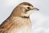 horned lark 70