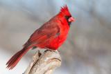 cardinal 306