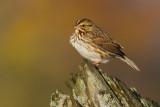 savannah sparrow 67