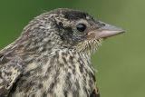 juvenile redwing blackbird 5