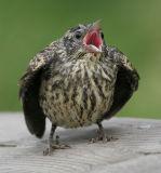 juvenile redwing blackbird 7