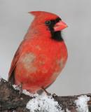 cardinal 256