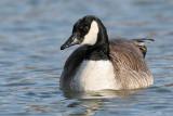 goose 123